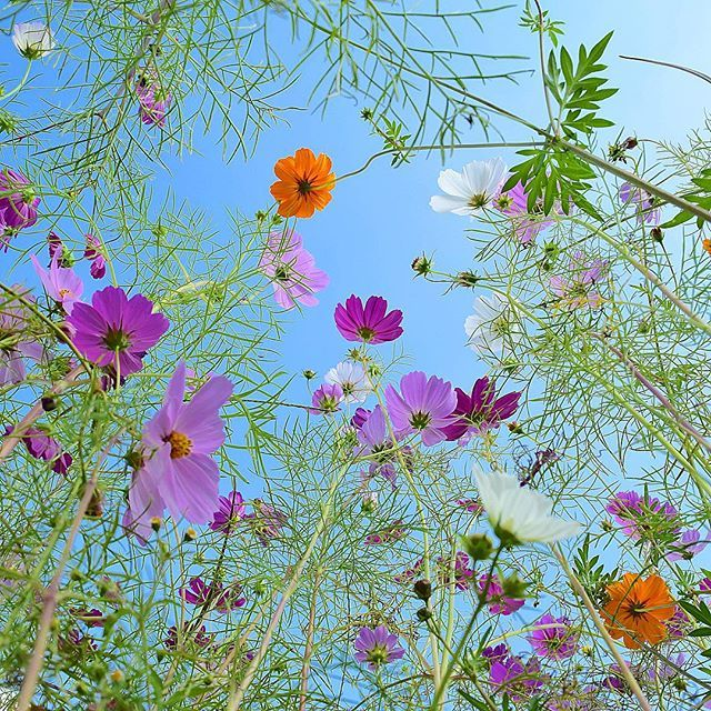 やっぱり青空の下のコスモスはいいね。 . *. と、いうことで連投失礼いたしました。 明日から怒涛の日々が…特に明後日水曜日から金曜日までの3日間研修で缶詰ですー。ま、残業しないから帰り撮影しに行こうかなぁと目論みまする。体力…が残っていたらの話でね。 . *. おつかれちゃん。 #コスモス #秋桜