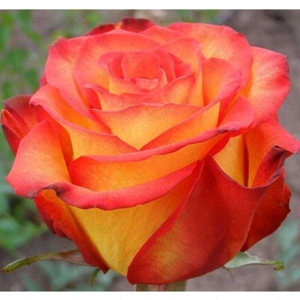 Роза чайно-гибридная Верано, фото 1