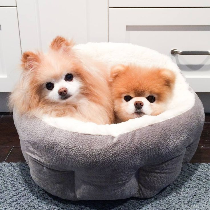 17 Best Ideas About Boo And Buddy On Pinterest Boo Dog