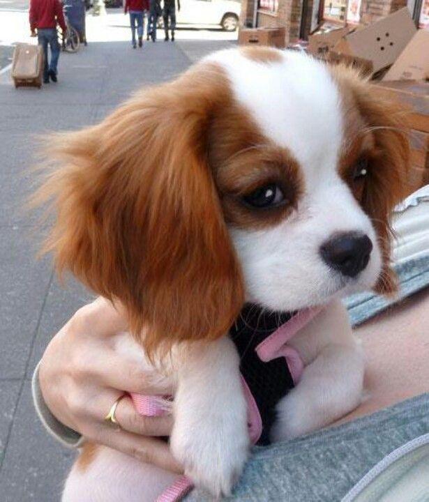 King Charles Cocker Spaniel Puppy