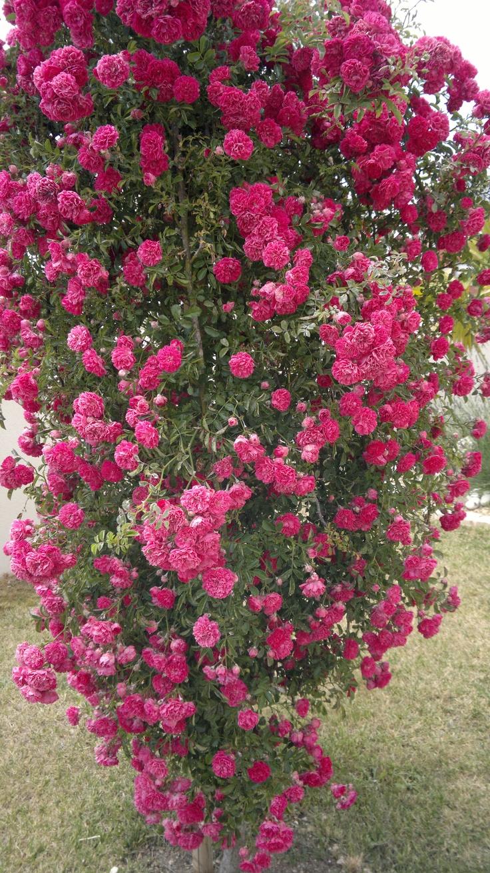 Rosier Pleureur by Lunargent Karu #Roses