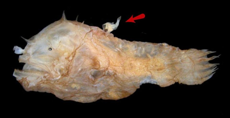 Ever had a boyfriend that just wouldn't leave you alone and relied on you for every little thing? Try being a female anglerfish.  The much smaller male locates the female by scent. When he finds her, he bites into her side and immediately starts to erode away his internal organs and merges with her circulatory system. He earns his keep by providing sperm when necessary. One female can have multiple male parasites on her.