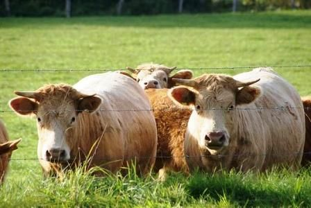 cattle for sale