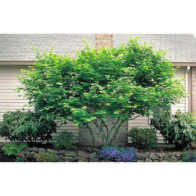 Vine Maple Tree Seeds | Tree Seeds for Sale