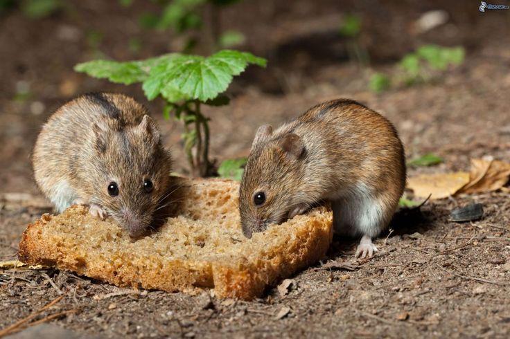 Como combatir ratas y ratones ecológicamente sin hacer daño a estos pequeños animalitos que pululan por almacenes, huertas y jardines buscando alimento...