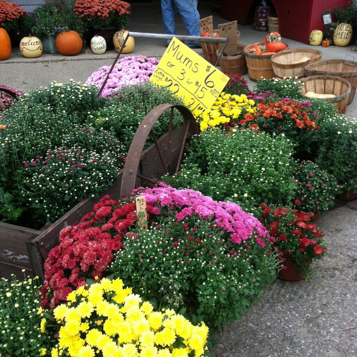 Corey Lake Orchard Mums in Three Rivers, Michigan 2015. October flowers. #coreylakeorchard #michigan #mums