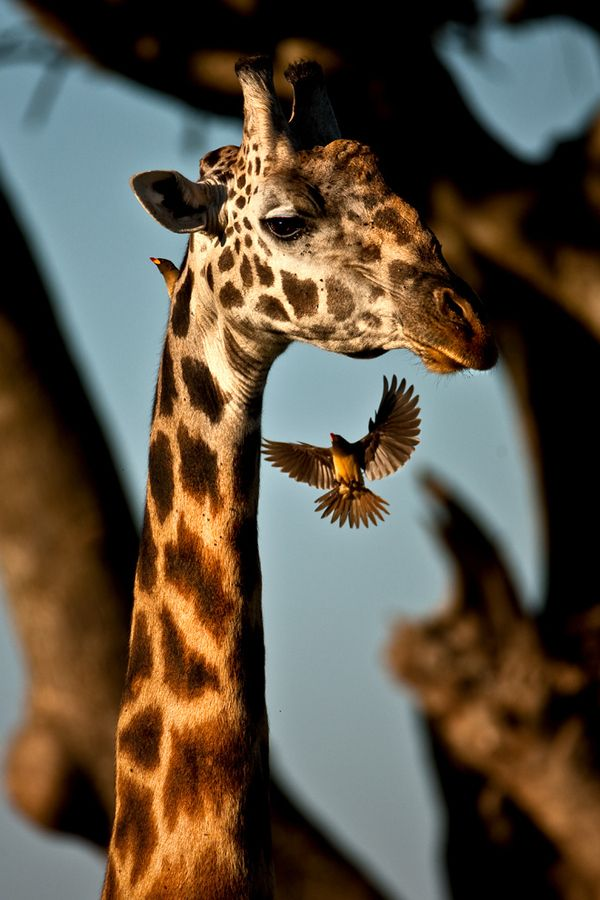 ♂ Wildlife photography #animal #Giraffe and #bird  by catman
