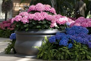 The steps for planting hydrangeas in pots are similar whether you grow them indoors or outside.