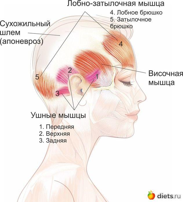Мышцы свода черепа и их роль для сохранения подтянутого лица: Фейскультура: методы естественного омоложения: Группы - diets.ru