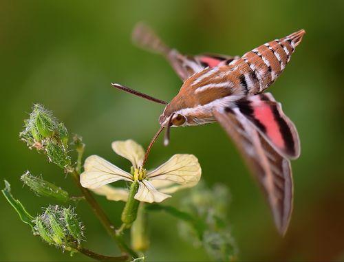 The Hummingbird Hawk-moth (Macroglossum stellatarum) I've only seen this moth 3 times in my life. They really look like a hummingbird!