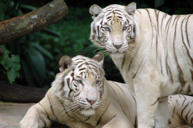 O tigre branco, tal como acontece com o leão branco, é um animal leucístico, que ocorre muito raramente na natureza e com maior frequência em jardins zoológicos, embora neste último caso seja propositado.  Outra variação de cores conhecida nos tigres é a do tigre dourado, embora não tenha sido registada qualquer observação de tigres dourados na vida selvagem. Em todo o mundo só existem cerca de 30 tigres dourados e todos são criados em cativeiro.