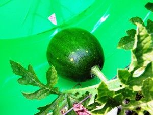 Baby Watermelon Care.... Place in plastic buckets with drainage holes. Space your hills a good distance, watermelon vines can easily grow 8 ft. or more. Once you have a few good fruit going, pinch off the other flowers so your plants will put their effort where it's most needed.