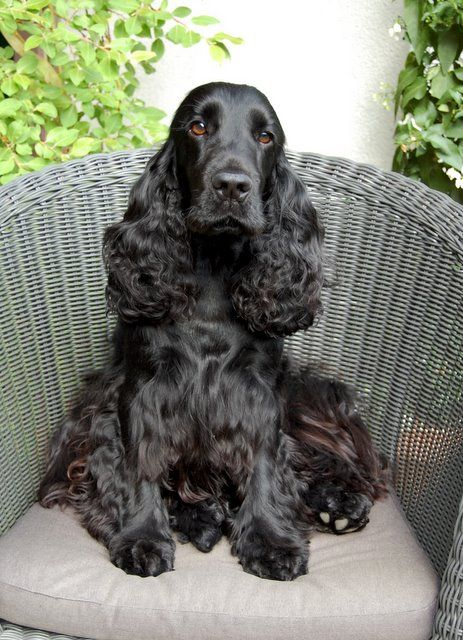 ~•º•.♥.•º•~ Cocker Spaniels of Black Mystic » Charbonnel Fair Trade ~•º•.♥.•º•~