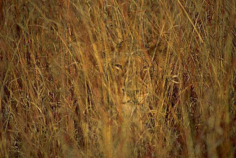 A lioness hiding in long grass in Kruger National Park, South Africa.