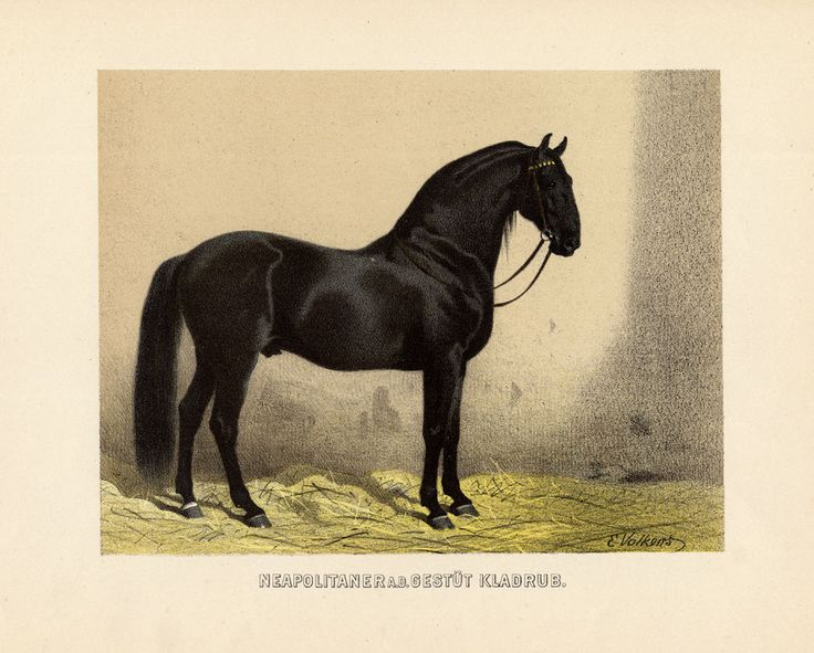 Neapolitan. The ancestor of the Murgese,influenced the Lipizzaner, through the stallions Neapolitano and Conversano (two founding stallions of the Lipizzaner breed), and many were exported to Spain and to Northern Europe where they influenced the development of breeds such as Frederiksborg horse and Kladruber. First Andalusian and Neapolitans were crossed exchanging breeds characteristics.