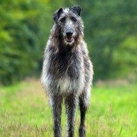 #dogalize Razas de Perros: Lebrel Escoces caracteristicas y cuidados #dogs #cats #pets