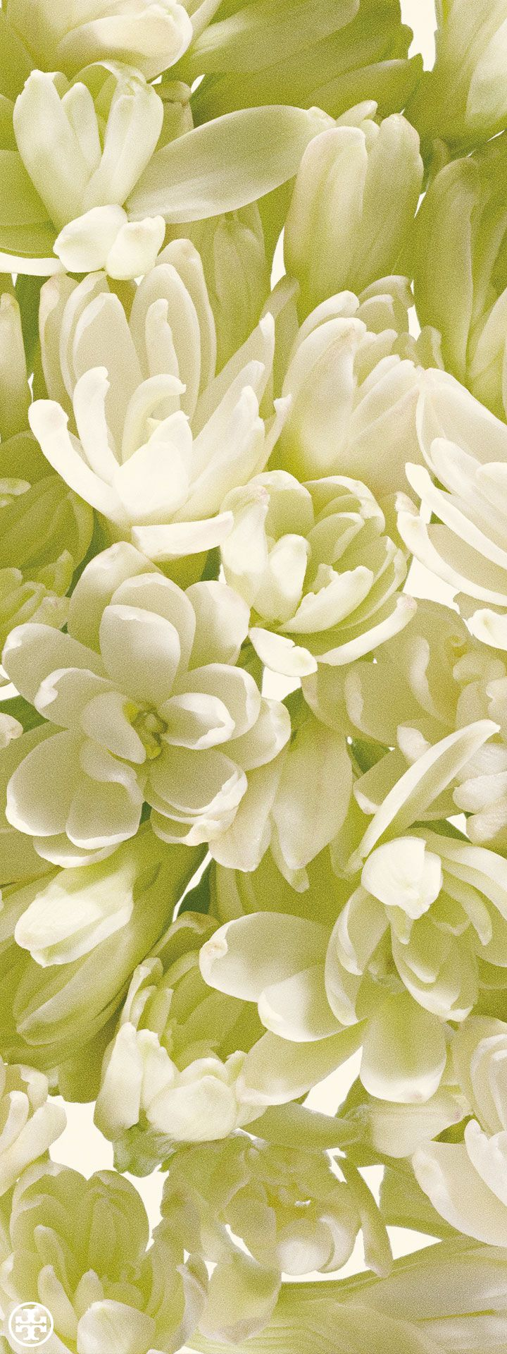 Lush tuberose, a floral note from Tory's first fragrance