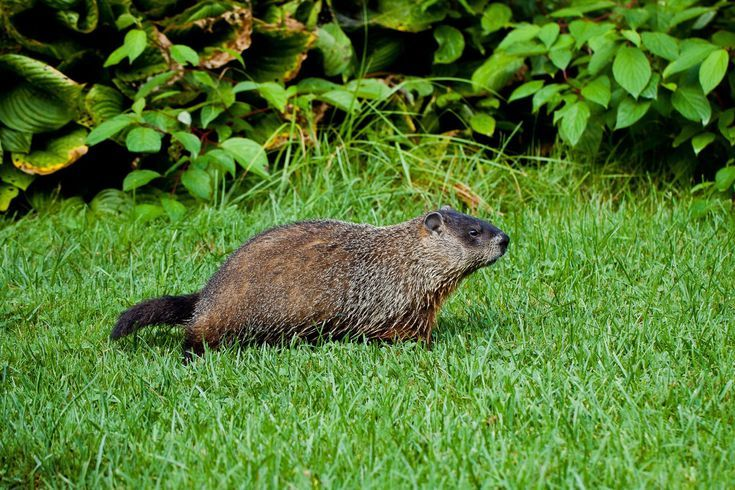 The Best Ways To Rid Your Yard Of Groundhogs Get Rid Of Groundhogs Groundhog Repellant Groundhog