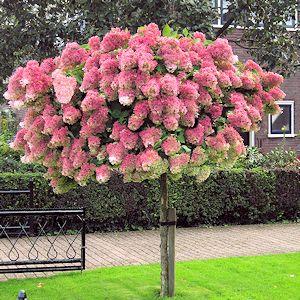 Hydrangea Tree 'Pinky Winky' More