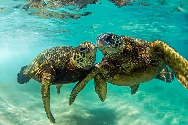 f56b01217 Honu Love | Honu | Turtle, Hawaiian tattoo, Turtle love