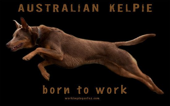 Australian Kelpies