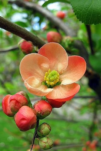 ~~Chaenomeles japonica ~ flowering quince by oshita946~~