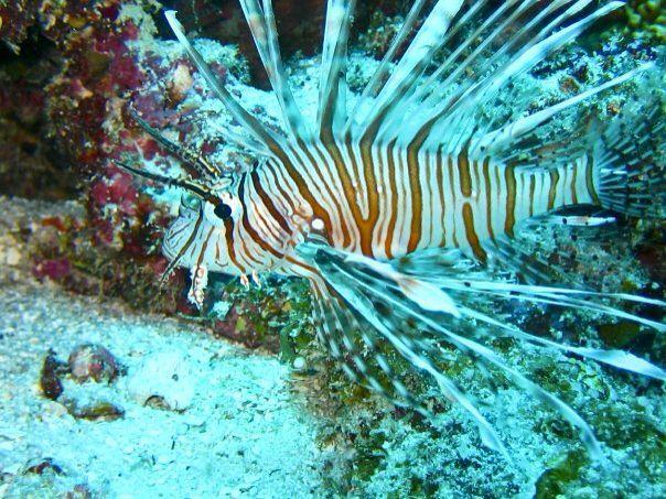#lionfish #scuba #diving #maldives