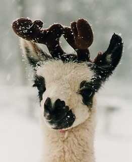 118 best Llamas are so Funny images on Pinterest | Animals, Llama ...