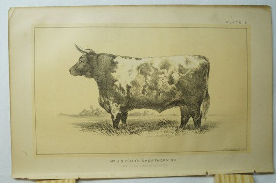 1888 Cattle and Dairy Farming United States Congress Lithograph Plate 5 Julius Bien Bull Cow Steer