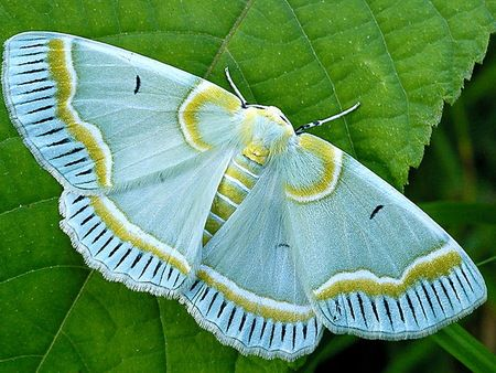pale blue, white, and olive moth against a green leaf... so pretty! (the details on the wings just do it for me)