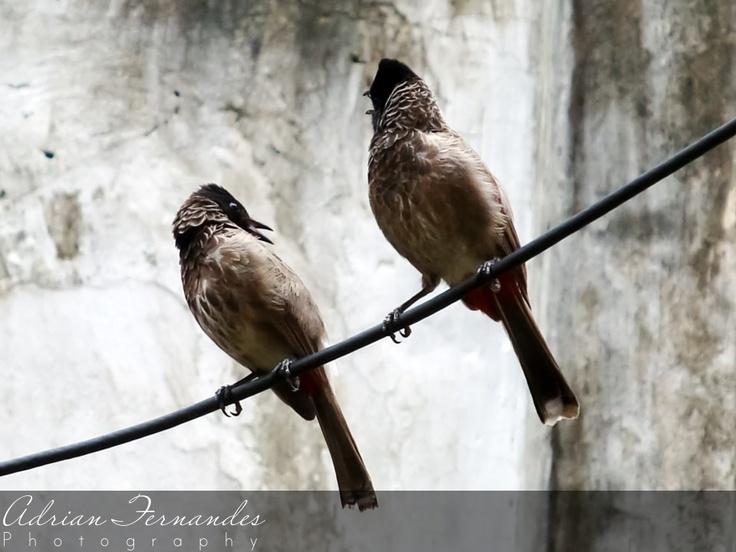 Bulbul birds enjoying a quite afternoon