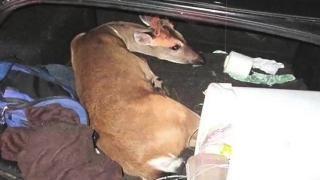 Endangered Deer Found Hogtied in Car
