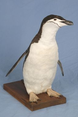 DigitaltMuseum - Pingvin