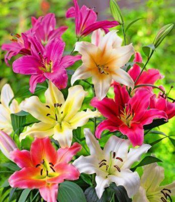 Die riesigen Blüten leuchten in traumhaften Farben und ihr herrlicher Duft verwöhnt die Sinne! Nach nur 2 Jahren wachsen diese Lilien-Schönheiten in Ihrem Garten auf eine Höhe von bis zu 2 Metern. https://www.plus.de/p-1634104000?RefID=SOC_pn