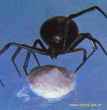 ovo de aranha viúva-negra