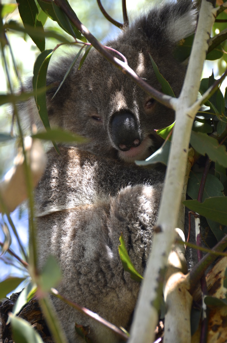 Koala at Phillip Island Wildlife Park #australia
