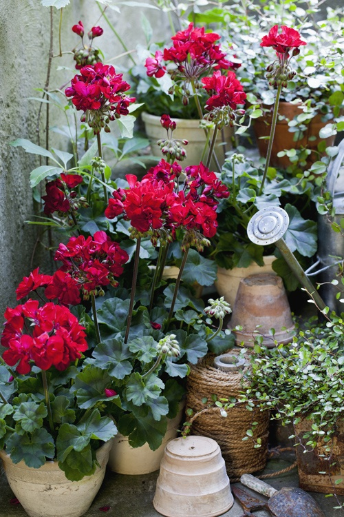 geraniums in pots. Great decoration idea - upturn empty pots to provide added interest