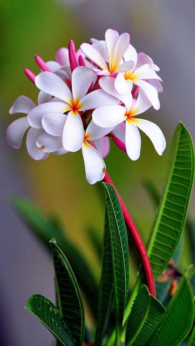 プルメリアの花のマクロ撮影 iPhone 5 (5S) (5C) の壁紙 - 640x1136