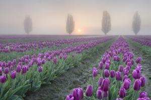 A plantar desde principios de la primavera: Tulipanes o Tulipas