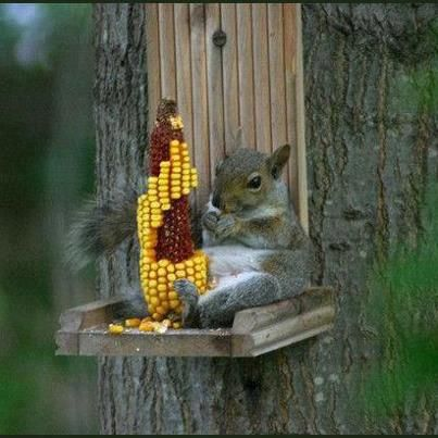 Squirrel eating corn. What a pose! :)