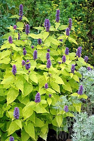 Agastache Rugosa 'Golden Jubilee'. Blooms July-Sept. 2-3'h, 1 1/2-2' spread.