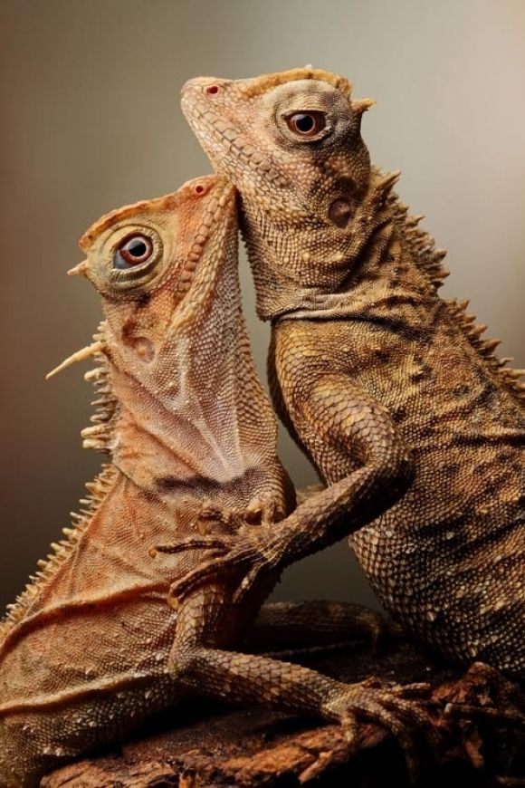 Mountain Horned Dragons (a genus of lizards commonly known as mountain horned dragons, or pricklenape agamas. They are so named because of a row of dorsal spines which run down the back of their neck).