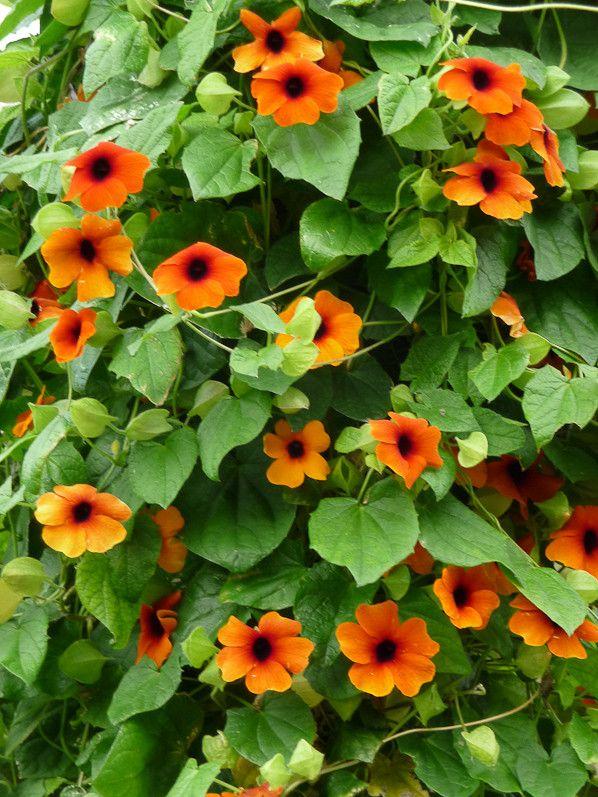 Suzanne aux yeux noirs 'Superstar Orange' http://www.pariscotejardin.fr/2013/10/suzanne-aux-yeux-noirs-superstar-orange/