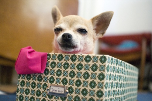 Maude likes to sit in my fabric box.: My Chihuahua, Storage Boxes, Fabric Covered, Chihuahua Bliss, Fabrics, Fabric Boxes, Cheeky Chihuahuas Chiweenies, Chihuahua Lover