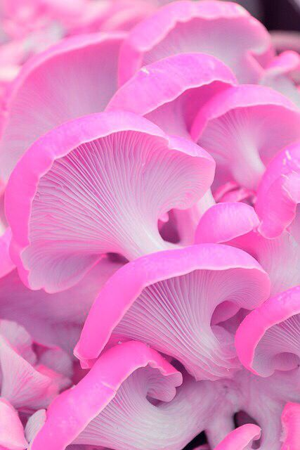 Pink mushrooms