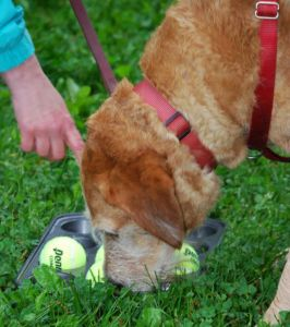 186 best dog enrichment images on pinterest dog stuff pets and muffin tin game for dogs fun enrichment for dogs site looks like it has solutioingenieria Image collections