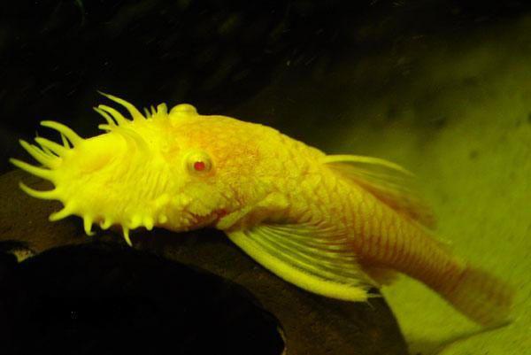 Albino Ancistrus sp. Male