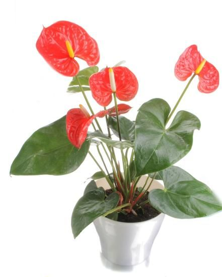 20 best Indoor Plants images on Pinterest | Low lights, Indoor ...