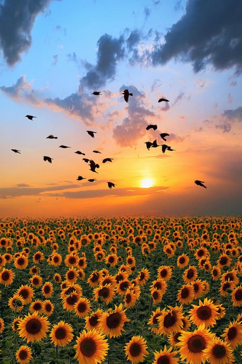 sunflowers and a gorgeous sunset