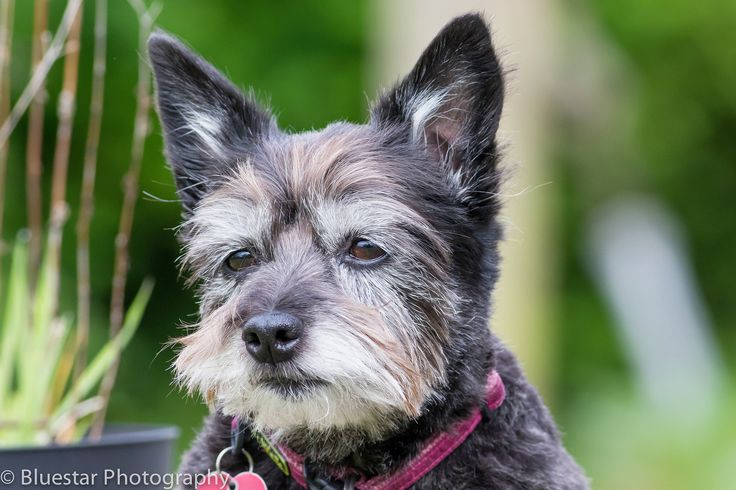 Angela 6 year old re-homed cairn terrier